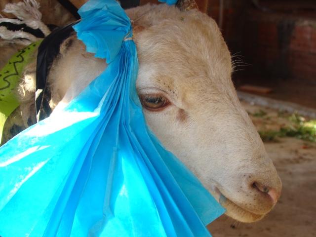 notre mouton décoré de l'aïd - tunisie